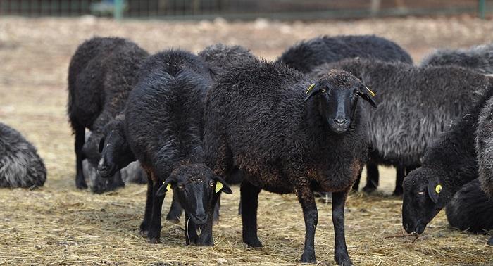 кудрявые черные барашки