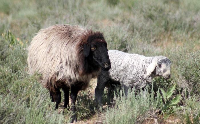 овцы и ягненок кудрявые