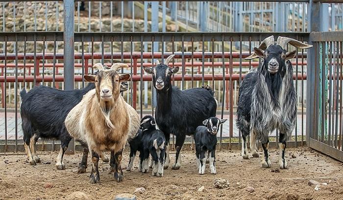 семья камерунских коз