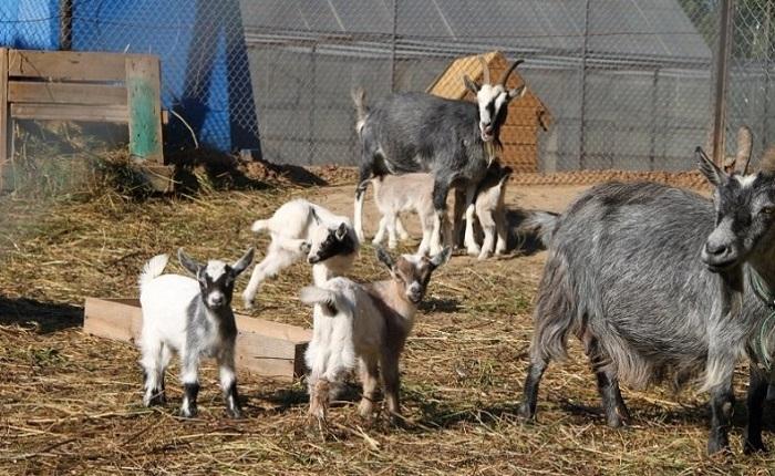 козы в загоне на сене