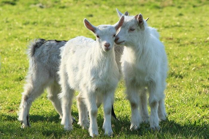 белые маленькие козлята
