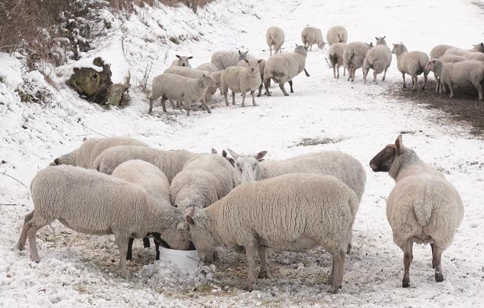 овцы едят сено на снегу