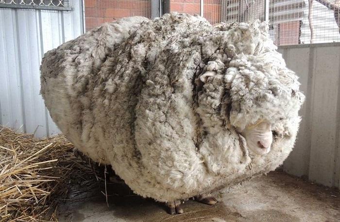 на овце много шерсти