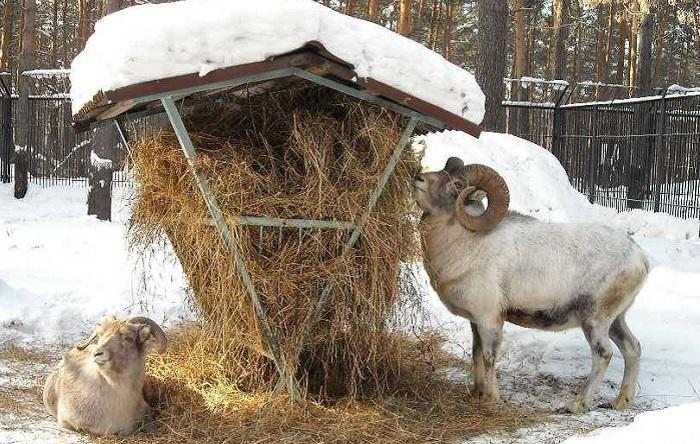 бараны едят сено