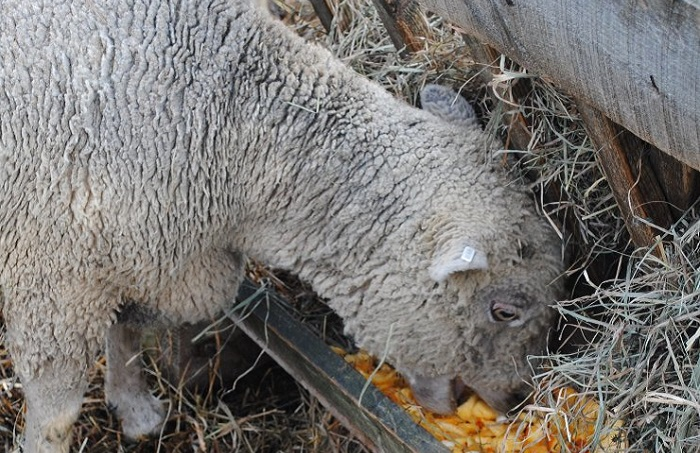 ягненок ест кукурузу