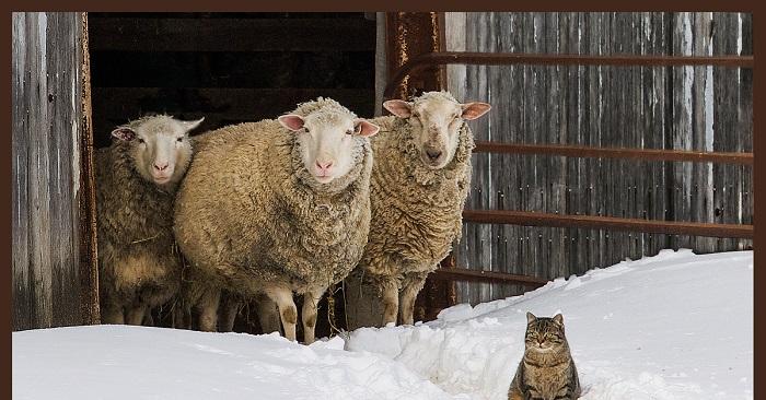 зима, овцы и кошка