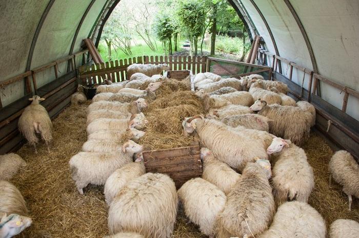 сено для овец