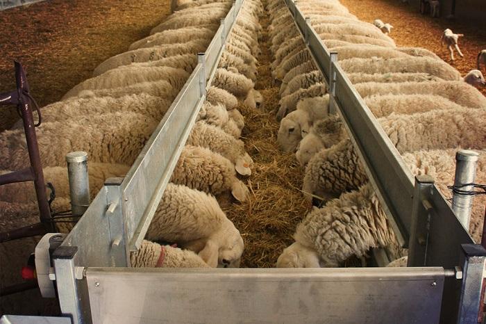 овечья карда