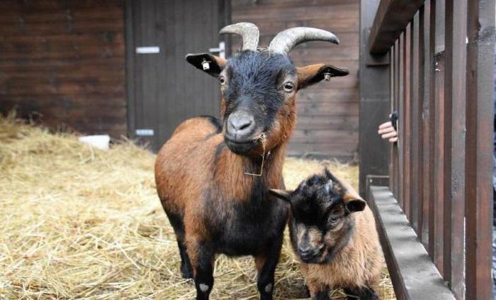 бурая коза с козленком