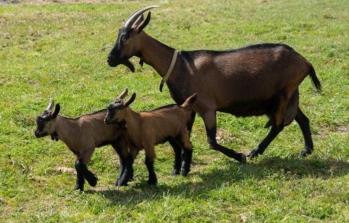 бурая самка коза с козлятами