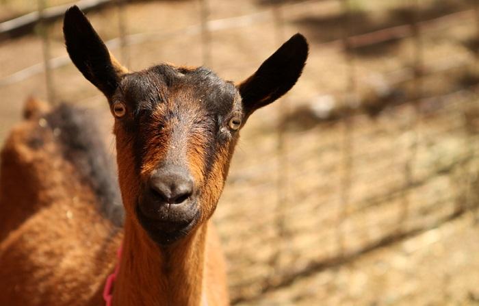 красивое фото козы