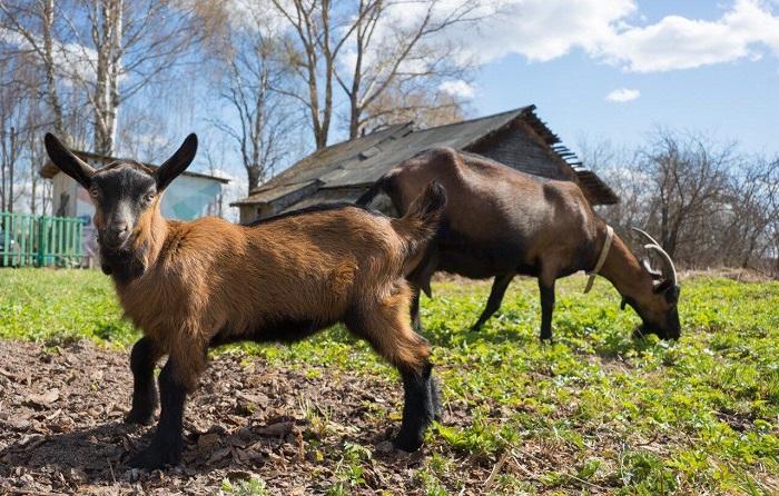 козы в огороде