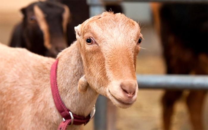 профессиональное фото козы