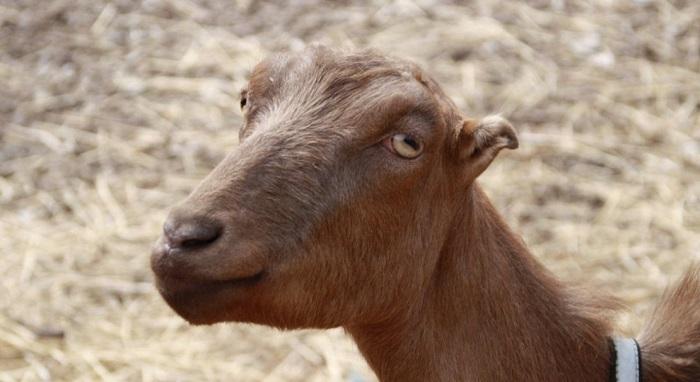 портретное фото козы