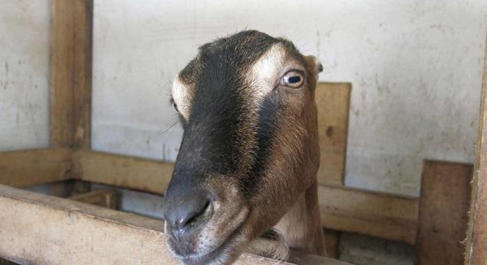 необычная безухая коза