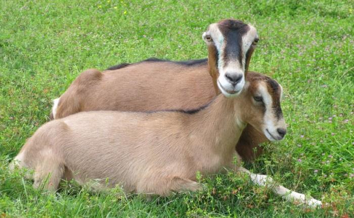две коричневые безухие козы