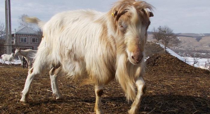 безухий козел