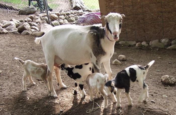 козочка ламанча с козлятами