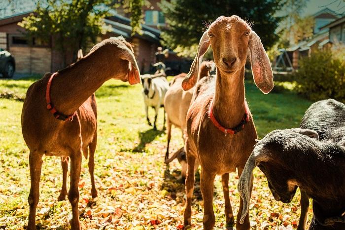 коза с длинными ушами