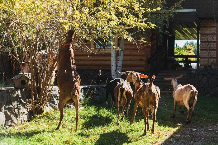 коза с козлятами в огороде