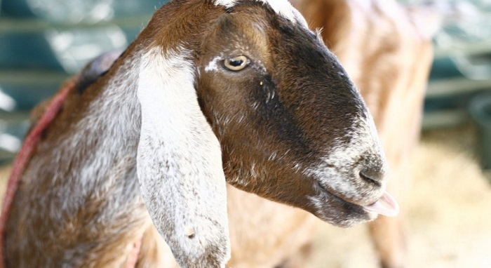 пестрая ушастая коза