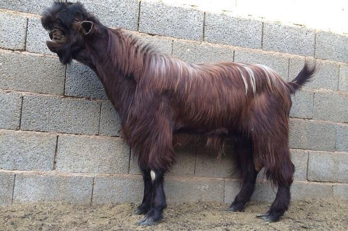 необычная коза