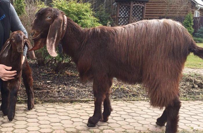 необыкновенная коза на плитке