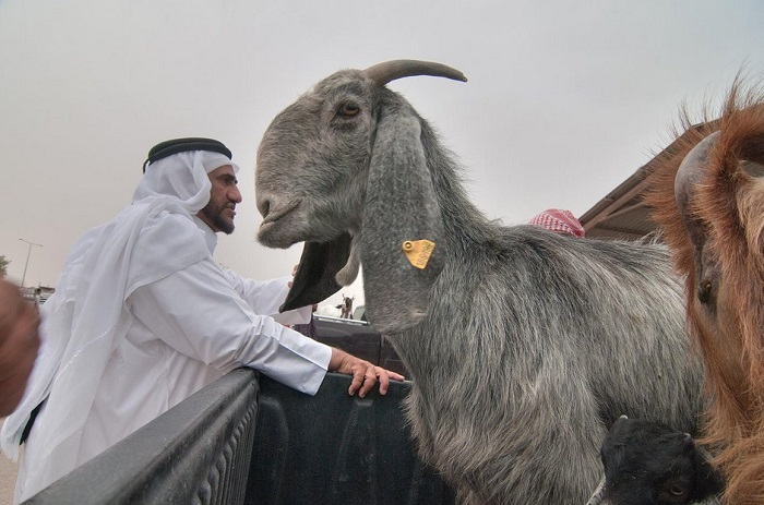 серая коза шами