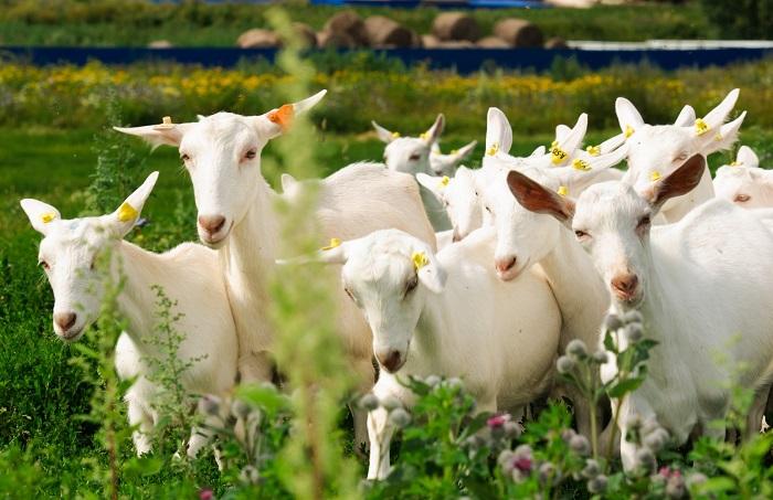 много много коз