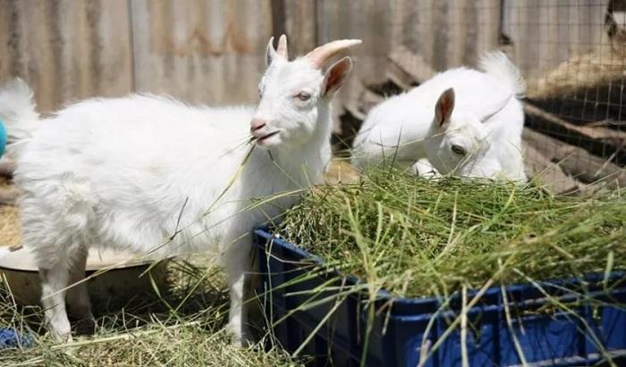 кормление молодняка коз