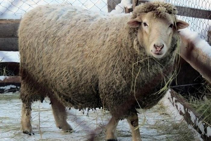 шерстяная овца на снегу