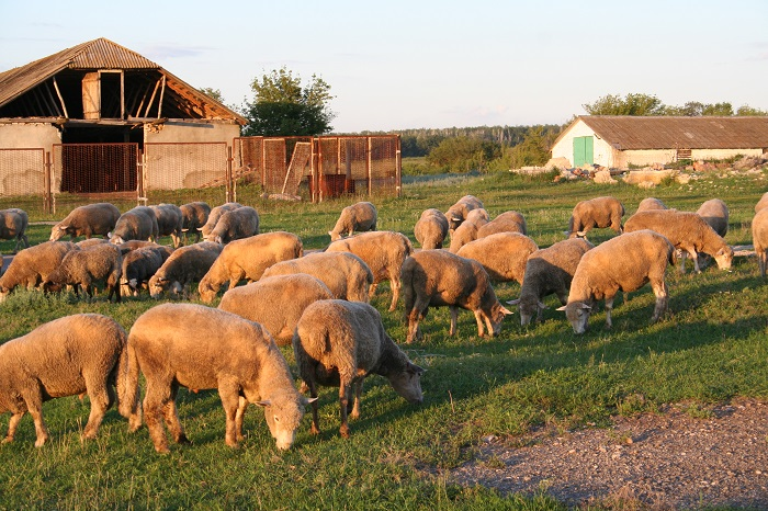 стая куйбышевских белых овец