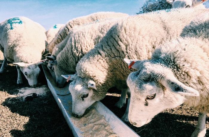 овцы едят из кормушки