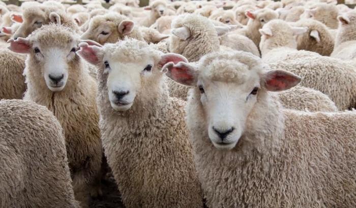 много голов овец