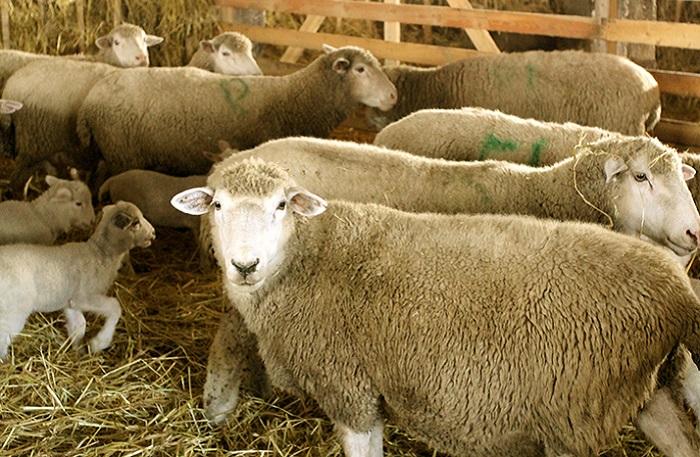 овцы и ягнята в сарае