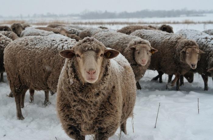 куйбышевская овца зимой