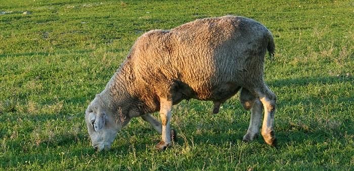 овца пасется на лугу
