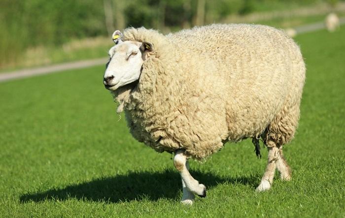 пузатая шерстяная овца