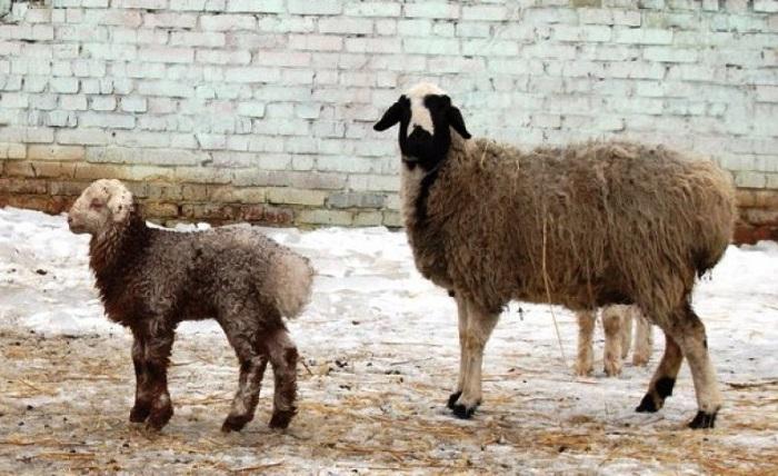 жирохвостная овца с ягненком