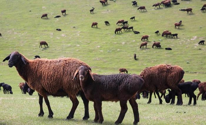 курдючные овцы на пастбище