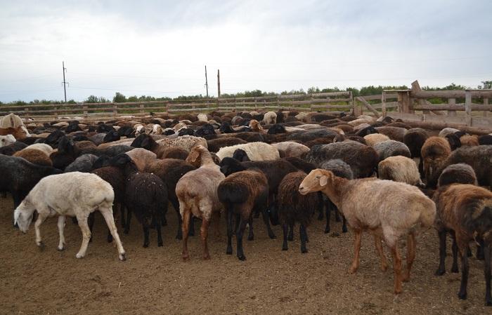 овцы без хвостов в загоне