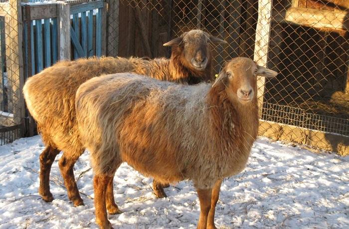 овцы на снегу