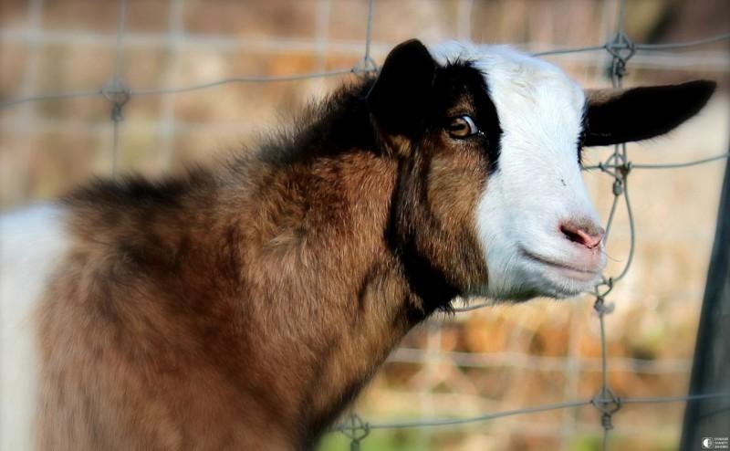 Удивленная коза
