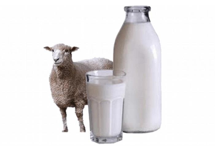 молоко и овца