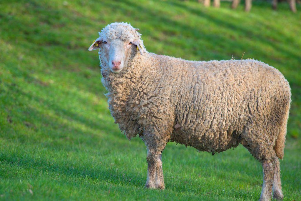 Овца Прекос на поляне
