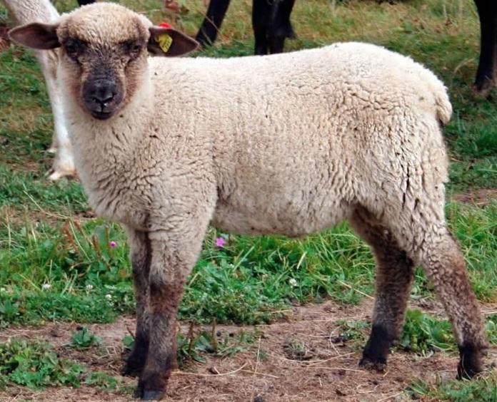 Горьковская овечка