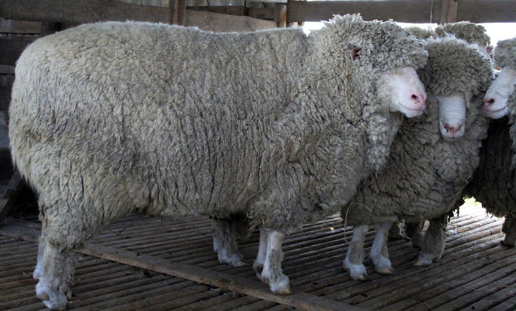 Кавказская серая овца