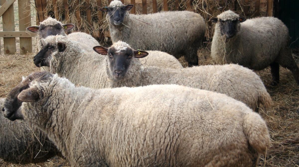 Темноголовые овцы