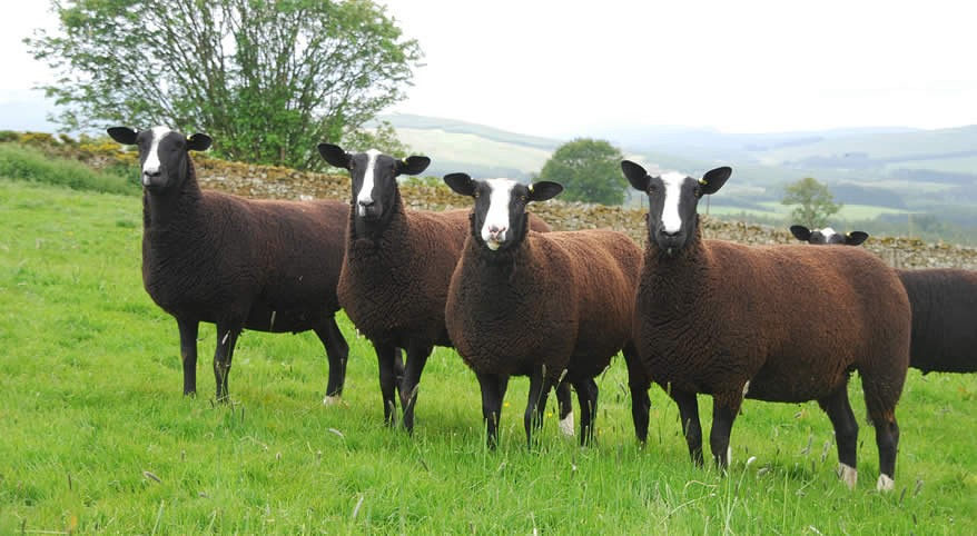 Овцы Цвартблейс