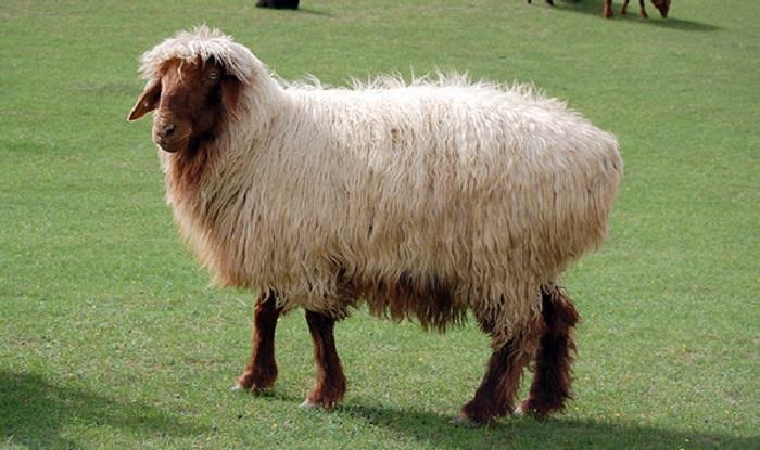 лохматая коричневая овца